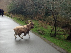 A goat crossing