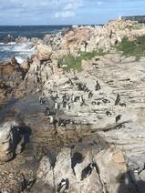 Betty's Bay penguin colony (1)