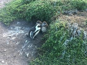 Betty's Bay penguin colony (2)