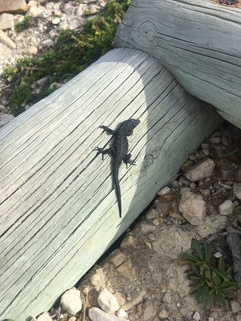 Cape Point lizard