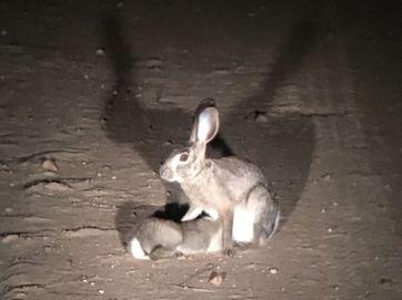 Scrub hare suckling