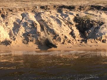 Zambezi crocodile running