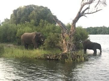Zambezi elephants wading