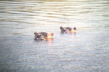 Zambezi hippos