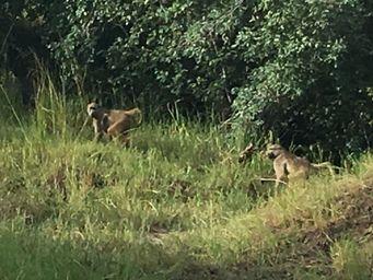 Zambezi monkeys